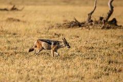 Jakhals - Chobe N P Botswana, Afrika Stock Afbeeldingen