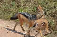 Jakhals die jonge impala preying gazzelle Stock Fotografie