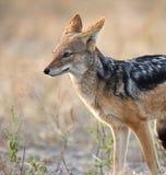 Jakhals - mesomalas Canis - Botswana royalty-vrije stock foto