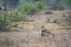 Jakhals met zwarte rug in het Nationale park van Kruger, Zuid-Afrika Royalty-vrije Stock Foto's