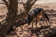 Jakhals, Namib-Woestijn, Afrika Royalty-vrije Stock Fotografie