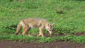 Jakhals in Serengeti stock videobeelden