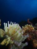 Jaki gigantyczny morze karaibskie anemon jak patrzeć musi, Bonaire, degradacja Antilles zdjęcie royalty free