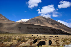 Jakken die in Himalayan-Berg weiden Stock Foto