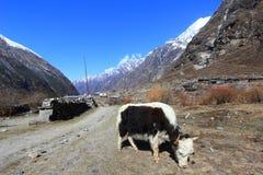 Jakken en landschap van de bergketen van Langtang Himalayagebergte Stock Fotografie