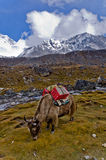 Jakken in Nepal stock afbeelding