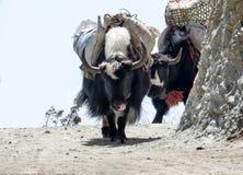 Jakken op de sleep in Nepal Stock Afbeelding