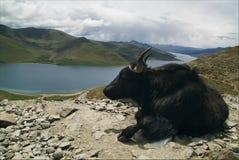 Jakken in Tibet Stock Afbeelding