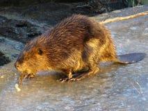jako beaver zajęty Zdjęcia Royalty Free