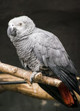 Jako-Papagei lizenzfreie stockfotos