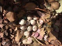 jako wiele tło jajka przepiórka Zdjęcie Royalty Free