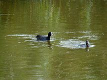 Jakt av fågeln på det gröna vattnet Arkivfoto