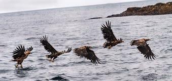 Jakt Eagle Royaltyfria Bilder