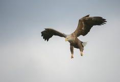 Jakt Eagle i en dyk royaltyfri fotografi