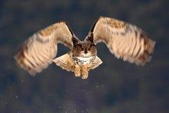 Jakt för EurasianEagle Owl fluga under vintern som omges med snöflingor, handlingflygplats med fågeln, djur i naturvanan royaltyfri fotografi