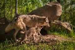Jakt för Grey Wolf Canis lupusvalp efter vuxen människa Royaltyfri Fotografi