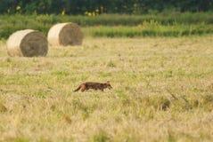 Jakt för röd räv Royaltyfri Fotografi