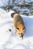Jakt för röd räv för gnagare Arkivfoto