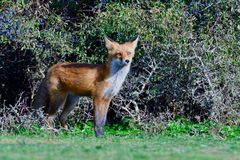 Jakt för röd räv på en äng arkivbild
