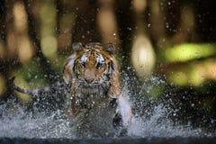 Jakt för Siberian tiger i floden från främre sikt för closeup Arkivbild