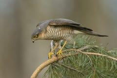 Jakt för Sparrowhawk Accipiternisus för små fåglar Royaltyfri Fotografi