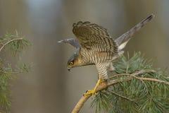 Jakt för Sparrowhawk Accipiternisus för små fåglar Royaltyfri Foto
