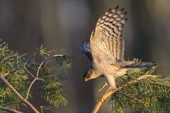 Jakt för Sparrowhawk Accipiternisus för små fåglar Arkivbilder