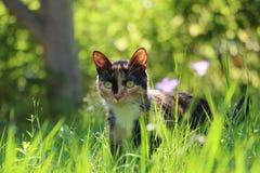 Jakter för sommar för kalikåkatt i gräset Royaltyfri Bild