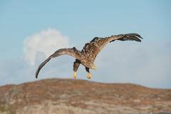 Jakthav Eagle fotografering för bildbyråer