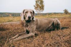 Jakthund som ligger på ett gräs och se royaltyfri foto