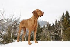 Jakthund som plattforer på snow Fotografering för Bildbyråer