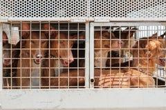 Jakthundkapplöpning i bur, hundar för kanariefågelöar, canarian kaningårdhou royaltyfri bild