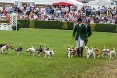 Jaktledare ledde dussintals hundar in i den huvudsakliga cirkeln fotografering för bildbyråer