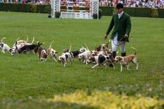 Jaktledare ledde dussintals hundar in i den huvudsakliga cirkeln royaltyfri fotografi