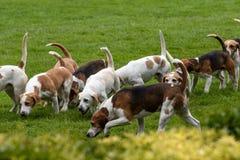 Jaktledare ledde dussintals hundar in i den huvudsakliga cirkeln royaltyfri bild