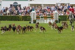 Jaktledare ledde dussintals hundar in i den huvudsakliga cirkeln royaltyfria foton