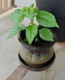 Jalapeño Puszkował rośliny Obrazy Stock