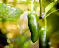 Jalapeno Royalty Free Stock Photos