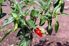 Jalapeno chili pepper growing in a vegetable garden Royalty Free Stock Photography