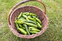 Jalapeno Hercules, unripened zielone gorące owoc zbierać w galonowym łozinowym koszu obrazy stock