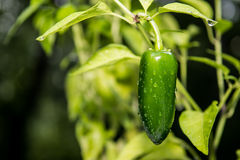 Jalapeno Pepper Stock Photos