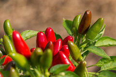Jalapeno pepper Stock Photos