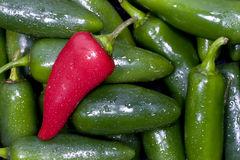 Jalapeno Peppers. A single red jalapeno pepper in a group of freshly washed green peppers Stock Photos