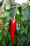 Jalapeno. Red and green jalapeno on his plant stock images