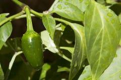 Jalapeño Pepper on Plant Stock Photo