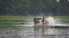 Jallikattu, un deporte rural del advanture Imagen de archivo libre de regalías