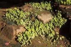 Jam rośliny Zdjęcie Royalty Free