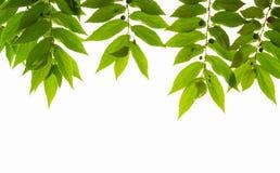 Jam tree leafs Stock Photos