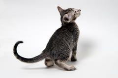 Jama för kattunge för söt grå strimmig katt orientaliskt Arkivfoto
