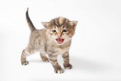 Jama kattunge fotografering för bildbyråer